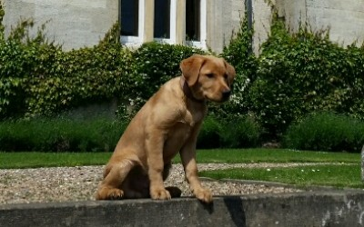 Labrador Russell barking commands at Stoke Rochford Hall